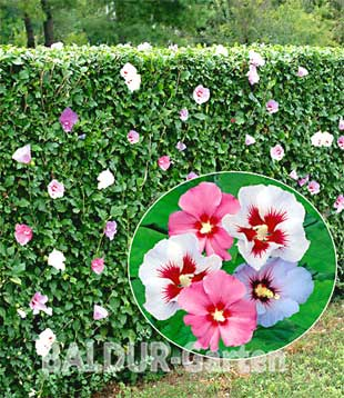 Hibiskus hecke giftig best 25 townhouse landscaping ideas for Baldur garten erfahrung