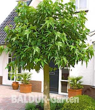weier maulbeerbaum of baldur garten 1116. Black Bedroom Furniture Sets. Home Design Ideas