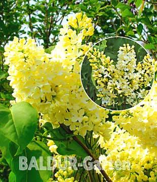 Baldur-Garten Duft-Edel-Flieder 'Primrose�'
